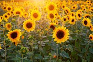 Sunflower | SUMMER Season of the Heart